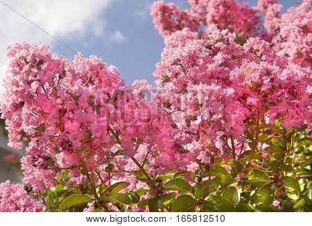 Japanese lilac latin name Syringa Japonica of pink colour recorded on Saint Constantine and Helen resort Bulgaria.