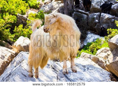 White goat standing on a stone, selective focus