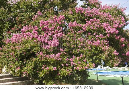 Japanese lilac latin name Syringa Japonica of purple colour recorded on Saint Constantine and Helen resort Bulgaria.