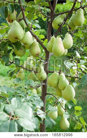 Part of pear tree with ripe fuits