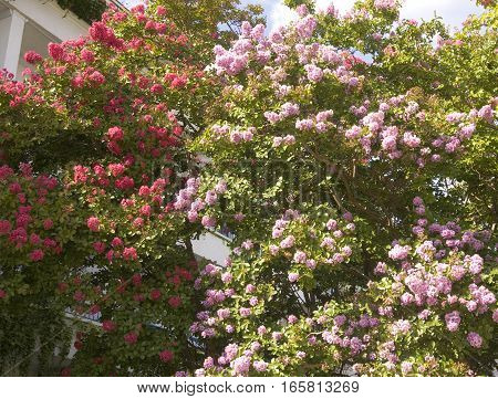 Japanese lilac latin name Syringa Japonica of colour recorded on Saint Constantine and Helen resort Bulgaria.