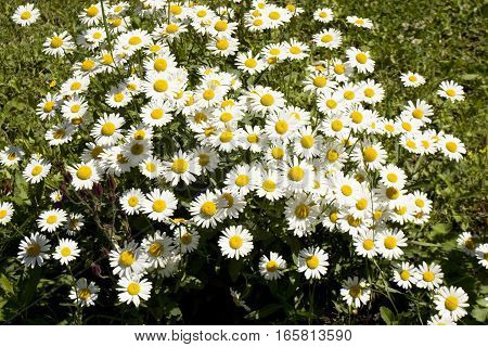 Many camomiles ox-eyed daisy on flowerbed in garden