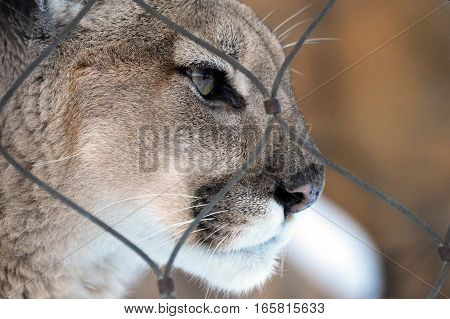 Close up of a puma at the fence