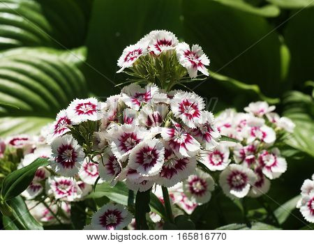 White and pink flowers of Sweet william, Dianthus barbatus, on a blurred green background
