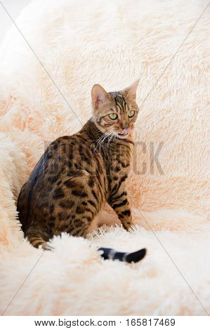The beautiful Bengal cat on the carpet.