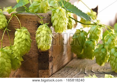 still life with hop cones on the wooden desk