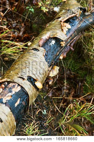 fallen tree birch bark curl of birch bark