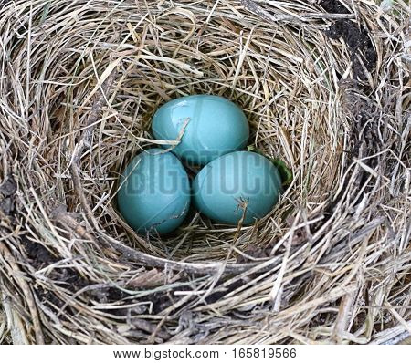 Unhatched robins eggs in a spring nest