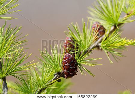 Larch and cone. Beautiful natural background, macro