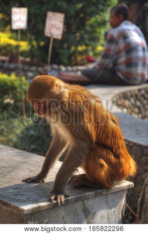 Monkeys in Pashupatinath Temple Kathmandu Nepal. animal