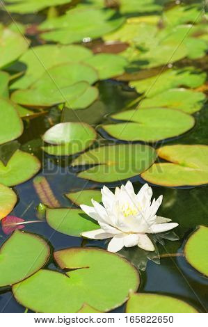 White water Lily (lat. Nymphaea) in a pond