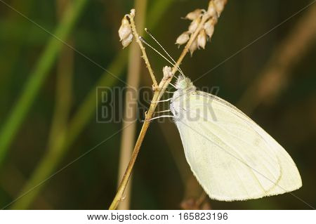 Belyanka (lat. Pieridae) - butterflies with white wings and with a clavate antenna