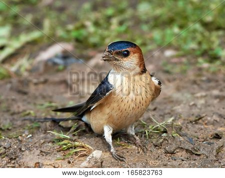 Red-rumped swallow resting on the ground in its habitat
