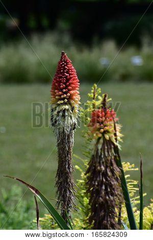 Kniphofia flower in botanical garden in Brno