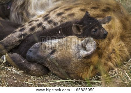 Spotted hyaena in Kruger National park, South Africa ;Specie Crocuta crocuta family of Hyaenidae