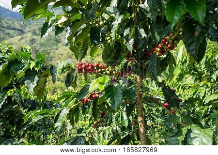 coffee beans on bush in Colombia's highlands