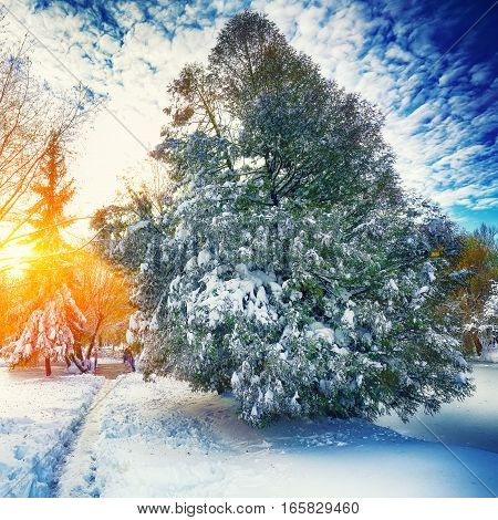 Sunlight breaks through the pine trees in winter. Lots of snow. Dramatic sky
