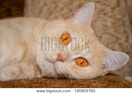 Red cat with big orange eyes lying on the couch