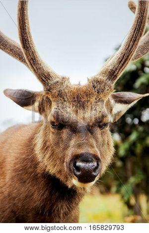 Wild deer in the national park plateau Horton. Sri Lanka.