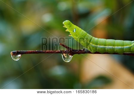 Green worm crawling slowly on the branches.