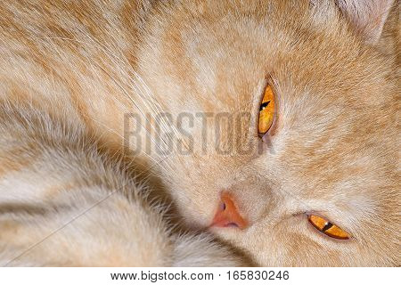 Red cat breeds Scottish-straight is photographed close-up