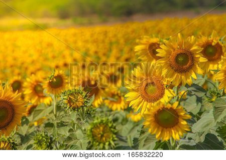 Selective focus on sunflowers with sunlight and warm filter
