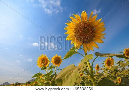 Sunflowers field with blue sky background- low angle shot