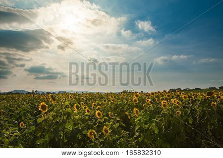 Landscape of Sunflowers field with HDR technic