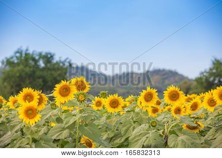 Landscape of Sunflower field at noon with mountain background