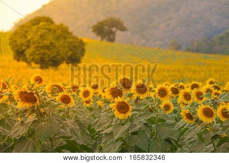 Sunflowers field with warm filter at evening