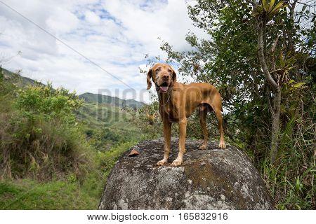 golden vizsla dog on a boulder in Tierradentro Colombia