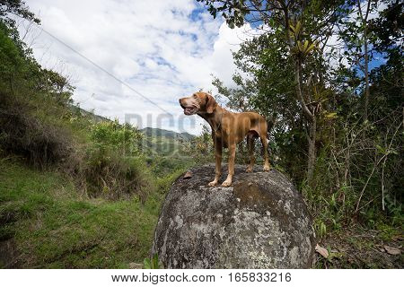golden vizsla dog standing on a small boulder in Tierradentro Colombia