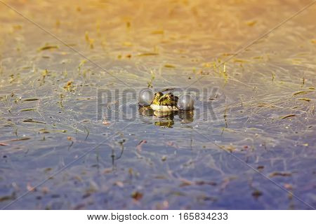 little green frog funny inflates his cheeks in a pond