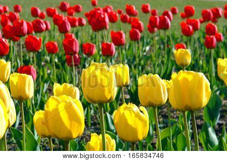 Red and yellow tulips in a field in the sun