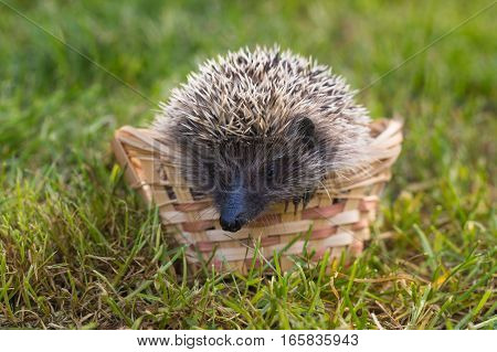 Hedgehog (lat. Erinaceus europaeus) sitting in a basket on the grass