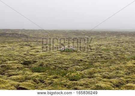 Iceland Thick Moss Field With Lonely Pink Flower In Mist. Foggy Weather In Icelandic Thick Moss. Fie