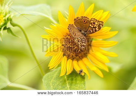 Butterflies Perch On Sunflowers Beautifully In Morning