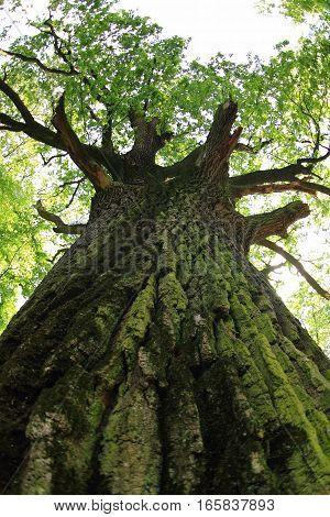 Old Oak Tree
