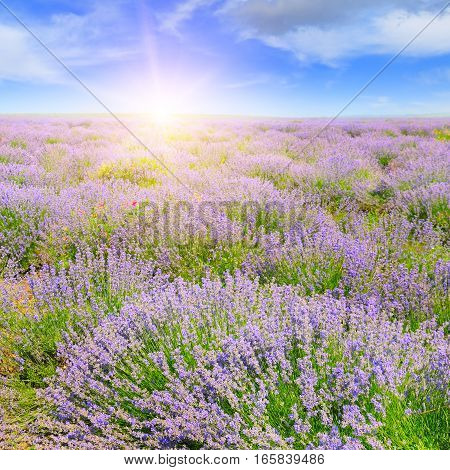 Field with blooming lavender and sun rise