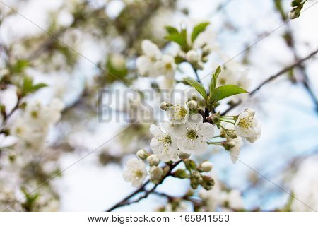 Flowering Cherry Tree On The Background Of Nature. Spring Flowers. Spring Background.