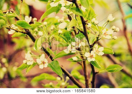 Flowering Cherry Tree On The Background Of Nature. Spring Flowers. Spring Background. Toned Image.
