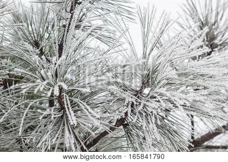Coniferous branches covered with hoarfrost in winter