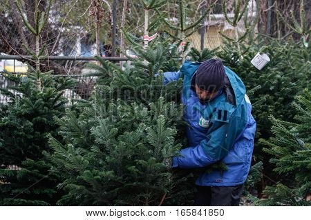 Bucharest Romania December 20 2013: A vendor arranges natural Christmas trees in a Christmas tree market in Bucharest.