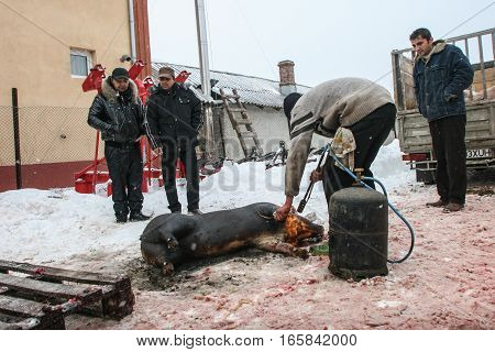 Calugareni Romania December 20 2009: A pig is sacrificed in an animal market in Calugareni. Before Christmas animal breeders are selling and sacrificing their animals in animal markets.