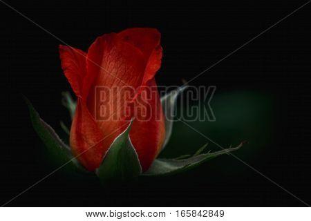 One Red-orange Rose On Dark Black Free Background