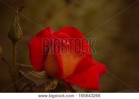 One red-orange rose on dark old background