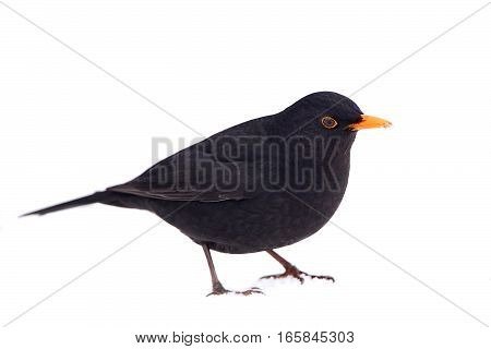 Common blackbird seen from the side standing in snow