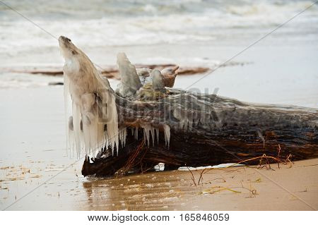 Bark with roots thrown by the sea during winter storm covered with ice. One of the roots resemble fish.