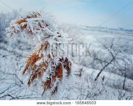 Frosted reed plant covered by white ice on a rural background with few snowy trees on side of frozen pond covered by ice. Sky is clear and blue.