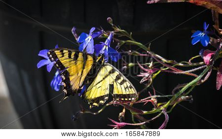 Eastern Tiger Swallowtail - (Papilio glaucus) with bright yellow and black but damaged wings, appears no less for the wear as the butterfly flits from flower to flower collecting nectar.